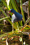David Adamson - Purple Gallinule