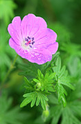Dew Prints - Purple Geranium Flower Print by Neil Overy