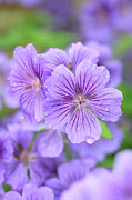 Dew Drops Framed Prints - Purple Geranium Framed Print by Neil Overy