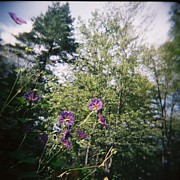Holga Images Framed Prints - Purple Geraniums Dream Framed Print by Lynn-Marie Gildersleeve