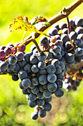Vines Photo Posters - Purple grapes Poster by Elena Elisseeva