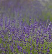 Lavender Flowers Photos - Purple Haze by Rebecca Cozart