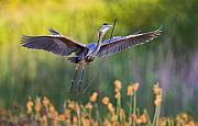 Prints Digital Art Originals - Purple Heron by Basie Van Zyl
