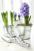 Hyacinth Photos - Purple hyacinths on table with sun-filled windows  by Sandra Cunningham