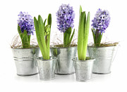 Hyacinth Metal Prints - Purple hyacinths Metal Print by Sandra Cunningham