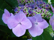 Purple Hydrangea Photos - Purple Hydranga Flowers art prints Baslee Troutman by Baslee Troutman Fine Art Collections