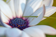 Asti Photos - Purple in a Daisy by Joann Vitali