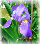 Barbara Mcdevitt Posters - Purple Iris Poster by Barbara McDevitt