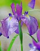 Diane Digital Art - Purple Iris by Diane E Berry