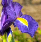 Purple Iris Photos - Purple Iris by Eddie Yerkish