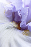 Bearded Irises Photos - Purple Iris Flower Macro by Jennie Marie Schell