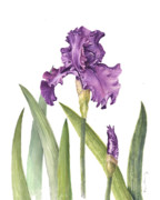 Botanical Posters - Purple Iris Poster by Fran Henig