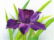 Easter Flowers Drawings Posters - Purple Iris Poster by Heather Mitchell
