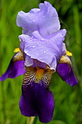 Waterdrops Posters - Purple Iris Poster by Karon Melillo DeVega