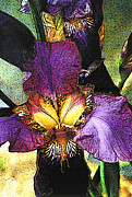 Lauren Brading - Purple Iris