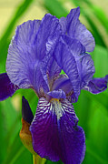 Violet Posters - Purple Iris Poster by Lisa  Phillips