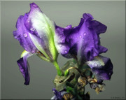 Droopy Posters - Purple Iris Water Drops Poster by Brian Wallace