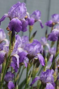Purple Iris Photos - Purple Irises by Lauri Novak