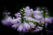 Purple Flower Photos - Purple by Johnny Lam