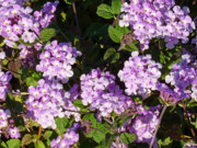 2hivelys Art Photos - Purple Lantana by Methune Hively