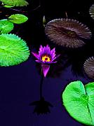 Purple Floral Photos - Purple Lily by Gary Dean Mercer Clark