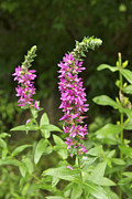 Invasive Prints - Purple Loosestrife 5323 Print by Michael Peychich