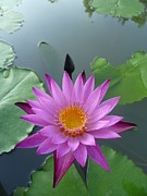 Purple Lotus In A Pond Print by Gregory Smith