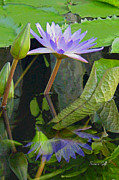 Lotus Bud Prints - Purple Lotus Print by Suzanne Gaff