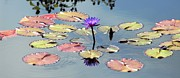   Metal Prints - Purple Mirror Metal Print by    