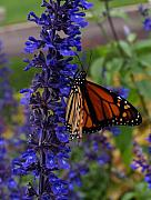 Insects Photo Originals - Purple Monarch by Peter Gray