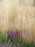 Heaths Prints - Purple Moor Grass (molinia Caerulea) Print by Adrian Bicker