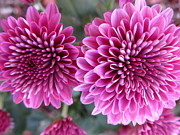 Lisa  Bahns - Purple Mums