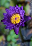 Confetti Prints - Purple n Yellow Water Lily Print by Sabrina L Ryan