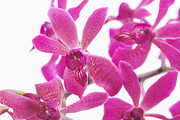 Health-spa Prints - Purple Orchid Print by Atiketta Sangasaeng