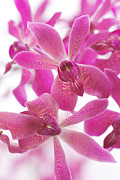 Spa Posters - Purple Orchid Branch Poster by Atiketta Sangasaeng