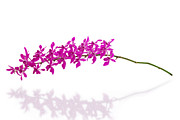 Blossom Originals - Purple Orchid Bunch Isolated by Atiketta Sangasaeng