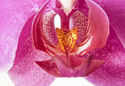 Orchid Macro Framed Prints - Purple orchid macro Framed Print by Blink Images