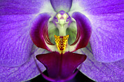 Clayton Bruster - Purple Orchid Macro