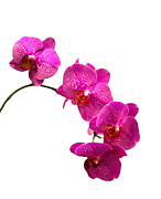 Box Print Originals - Purple Orchid on White by Michael Waters