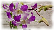 Jagged Border Photo Framed Prints - Purple orchids Framed Print by Rose Santuci-Sofranko