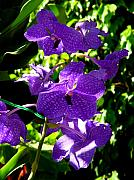 Purple Orchids Posters - Purple Orchids Poster by Susanne Van Hulst