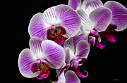 Tom Bell - Purple Orchids