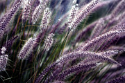 Fountain Digital Art Photos - Purple Ornamental Fall Grass by Marjorie Imbeau