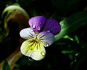 Purple Pansy Prints - Purple Pansy Print by Anthony Jones