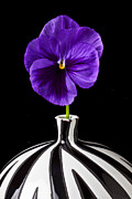 Striped Posters - Purple Pansy Poster by Garry Gay