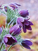 Pasqueflower Posters - Purple Pasque Flowers Poster by Michele Penner