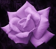 Illinois Flowers Posters - Purple Passion 1 Poster by Bruce Bley