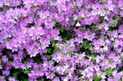 Azaleas Posters - Purple Passion Poster by Deborah  Crew-Johnson