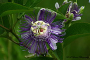 Passiflora Originals - Purple Passion Flower by Barbara Bowen