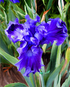 Diane Berry Paintings - Purple Passion Iris by Diane E Berry